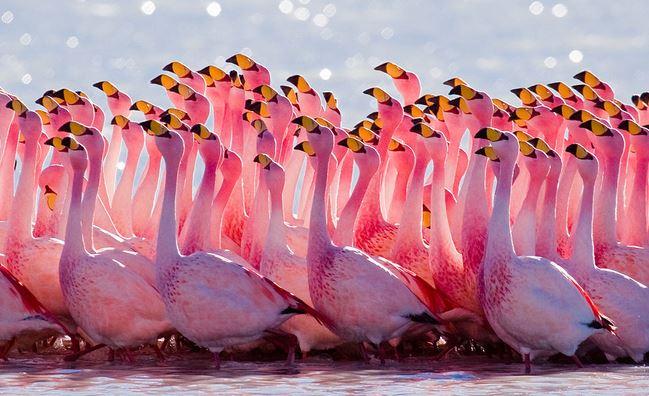 Wikipedia free use flamingos